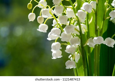 White bell shaped flowers images stock photos vectors shutterstock lilies of the valley a cultural european plant family of lilies with wide leaves mightylinksfo