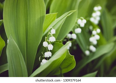 lilies of the valley in the garden. vintage processing