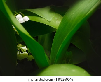 Lilies of the valley with leaves close up