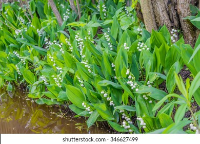 lilies of the valley, spring