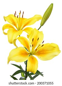 Lilies. Yellow flowers isolated on a white background