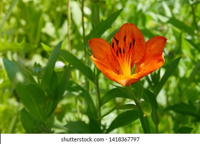 Lilium bulbiferum, commonly known as orange lily, fire lily, tiger lily.