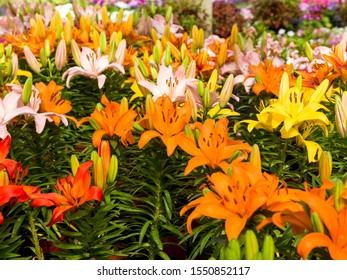 LIlium flower, Lilium bulbiferum, common names orange lily, fire lily and tiger lily, is a  herbaceous European lily with underground bulbs, belonging to the Liliaceae.