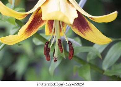 Lilium flower or lily flower. A beautiful orange flower of lilium. Flower close up.