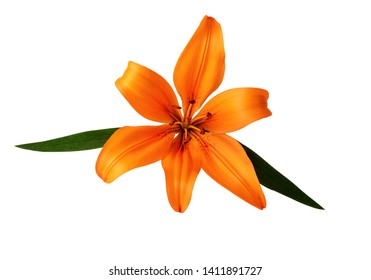 lilium or lily flower orange color isolated on white clipping path included