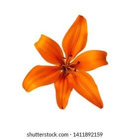 lilium lily flower orange color isolated on white clipping path included