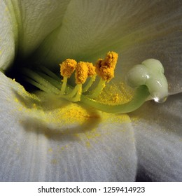 Lilium longiflorum often called Easter Lily.  Extreme closeup showing pistil, stamens and pollen.