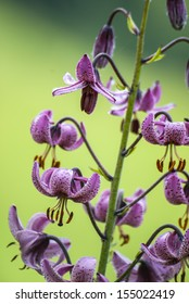 Lilium martagon on natural background