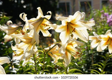 Lilium OT hybrid conca d'or white and yellow flowers in sunlight