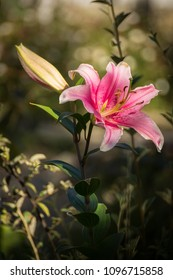 Lilium or pink lily at sunset in a garden in Valdivia, Chile.