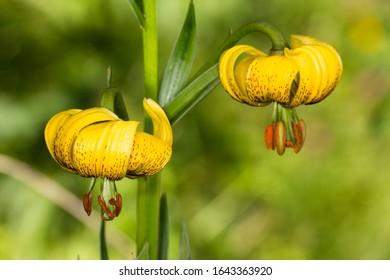 )Lilium Pyrenaicum in the Aragonese Pyrenees