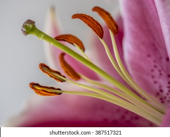 Lilium, the Stargazer lily is a hybrid lily of the Oriental group.