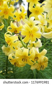 Lilium yellow lily flowers