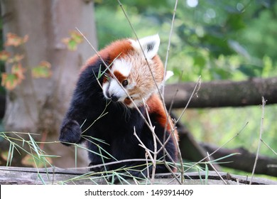 Lille, France - July 2019 : Cute Red Panda