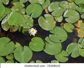 Lillies from Above in a pond at Freedom Park  in Collier County, Florida