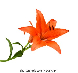 Lilly flower with buds isolated on a white background.