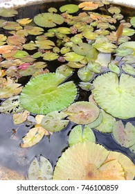 Lilly lotus pond in Asia