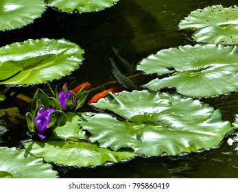 Lilly pads on a pond with purple water lillies