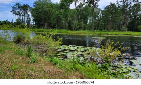 Lillypads floating on the pond