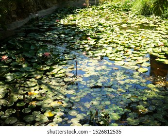 Lillypads on the water ina public garden, Givatayim, Israel