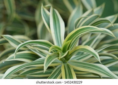 Lily bamboo or Dracaena reflexa also known as song of India, pleomele