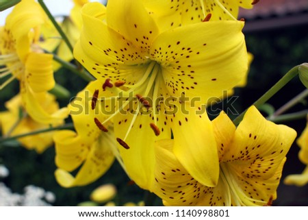 Lily Blooming Yellow Lilies Summer Garden Closeup Stock Photo
