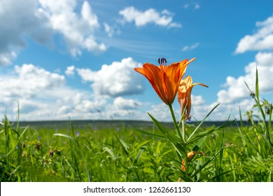 lily bush with fallen petal in meadow. wild blooming orange lily flowers growing in grass on blue sky cloudy background. In Yakutia (Siberia), Lilium dahuricum, Lilium pensylvanicum called Saranka