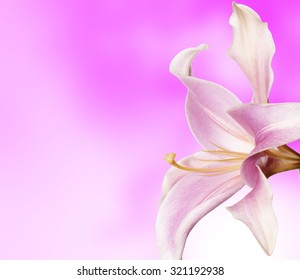 Lily flower on abstract pink background
