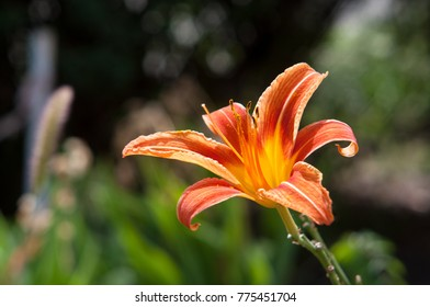 A lily flower of a red and orange color. Exposed to the sun. It is summertime. With blurred background.