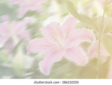 Lily flower in soft style and blurred background