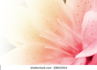 Lily flower, sweet pink of lily flower in soft focus.