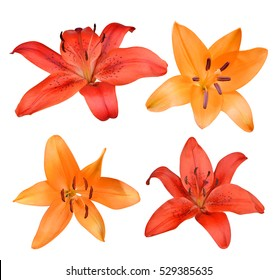 Lily flowers isolated on white background.