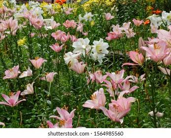Lily garden in Summer of  Iwatake Hakuba Nagano Japan