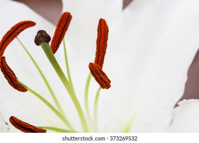 lily isolated on white background macro shot