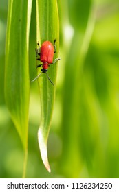 Lily leaf beetle (Lilioceris lilii), vermin in the gardens