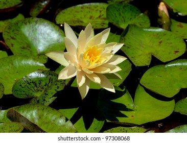 Lily pad and flowers in a pond