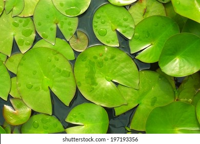 lily pad leaves in a pond