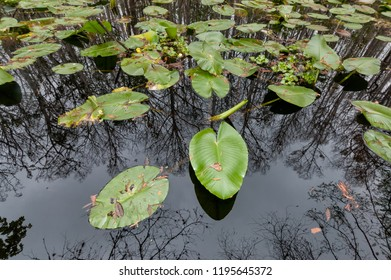Lily pads covering surface with bald cypress trees mirrow