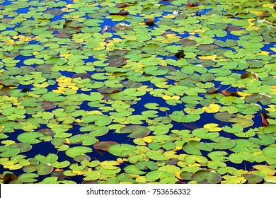 Lily Pads form a beautiful mosaic of color on the waters of Mabel Lake in northwoods Wisconsin