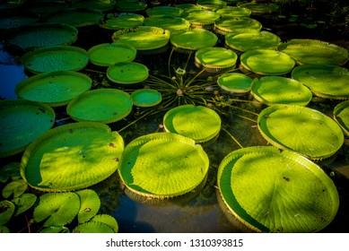 Lily Pads in Lake