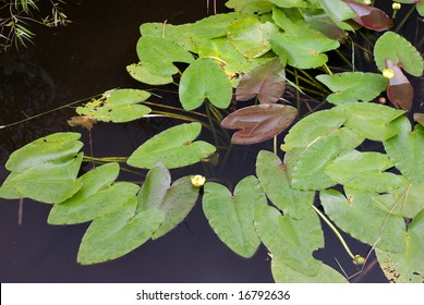 Lily Pads on Canal, Anhinga Trail, Everglades National Park