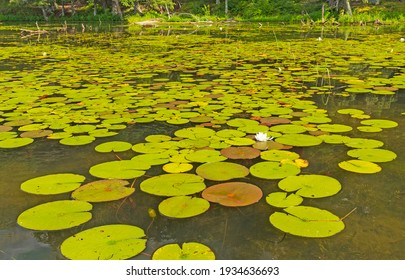 Lily Pads on a Sunny North Woods Lakeshore on Crooked Lake in the Sylvania Wilderness in Michigan