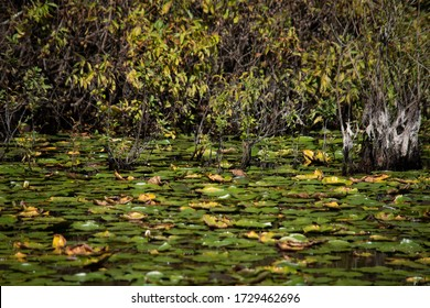 Lily Pads at the Pond