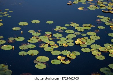 Lily Pads in the Pond