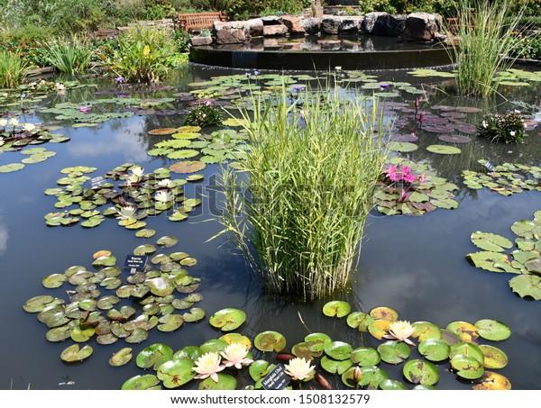 Kansas City Botanical Gardens >> Lily Pads Tall Plants Other Aquatic Stock Photo Edit Now