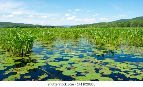 Lily Pond with Green Lily Pads on Water