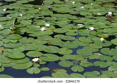Lily pond with white lotus flowers