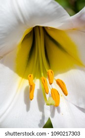 Lily Regale, lily, Lilium regale, macro flower head inside. Extreme macro shot on stamens. Vertical full frame crop