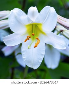 Lily tubular is a beautiful and delicate white flower with long yellow stamens and snow-white leaves. Variety White Planet, Regale Album. Close-up.