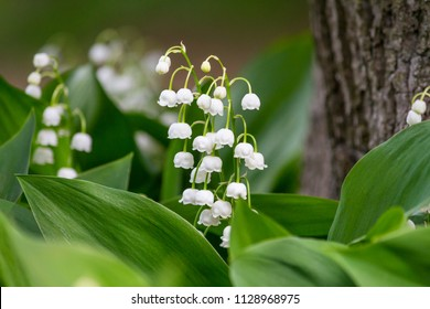 Lily of the valley (Convallaria majalis), blooming in the spring forest, close-up